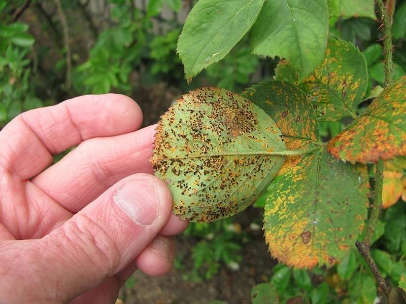 Rose rust disease